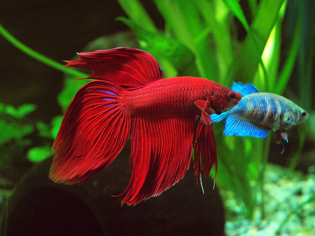 Red Veil-tail male betta with blue female betta in the backround ...
