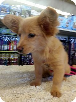 Gilbert Az Papillon Dachshund Mix Meet Penny A Puppy For
