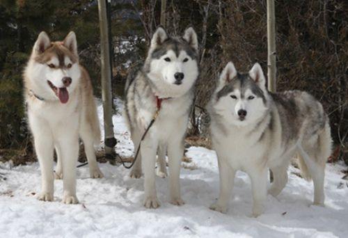 The Different Types Of Siberian Huskies Husky Puppy Husky Dogs