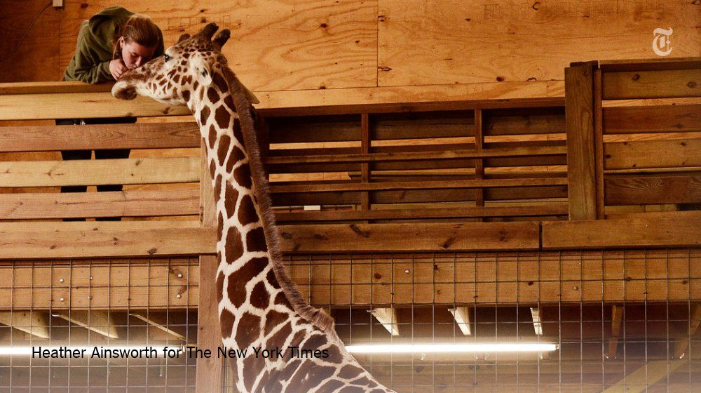 (>'.'<) ᙖҽąմ৳ἶƒմℓ Ꭿɲἶɱąℓʂ (ᵔᴥᵔ) ~ March's biggest hit? A pregnant giraffe named April.  The New York TimesVerified account @nytimes  5h5 hours ago  http://nyti.ms/2m4HAP6   (5) Twitter
