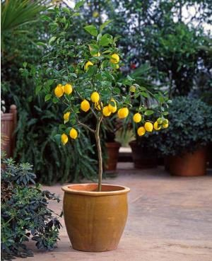 citronnier en pot plantes pinterest citronnier pots. Black Bedroom Furniture Sets. Home Design Ideas