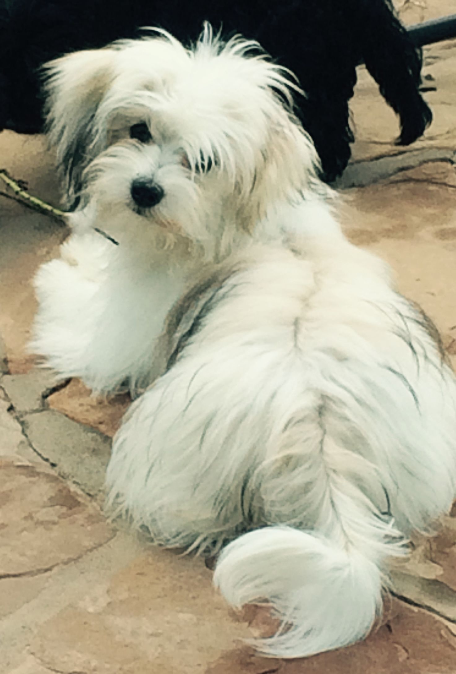 The Havanese Belongs To The Bichon Group Of Small Dogs Developed In The Mediterranean Long Ago Learn More About Pe Havanese Dogs Havanese Puppies Havanese