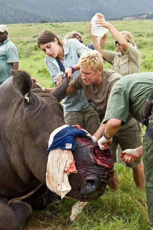 Badly injured rhino whose horn was taken after it was darted by poachers - Stop the ivory trade. Elephants and rhinos are suffering. That man's facial expression says it all.