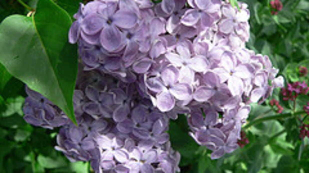 Is The South Too Hot For Lilacs Lilac Tree Lilac Plant Plants