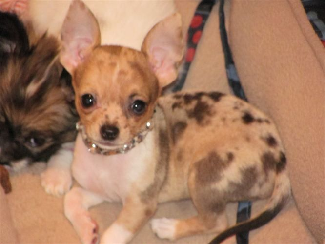 Red Merle Chihuahua   Happy Tails   Chihuahua dogs