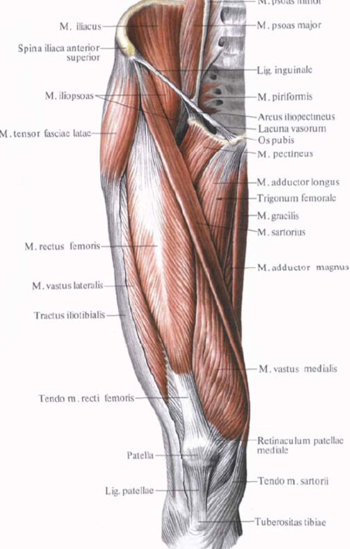 Anterior muscles of the thigh | anatomia umana | Pinterest | Thighs ...