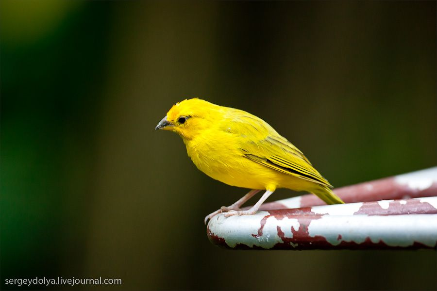 Yellow Sparrow | Beautiful birds, Cute animals, Singapore malaysia