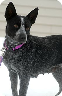 Delano Mn Australian Cattle Dog Meet Lucy A Dog For Adoption Cattle Dog Dog Adoption Dogs