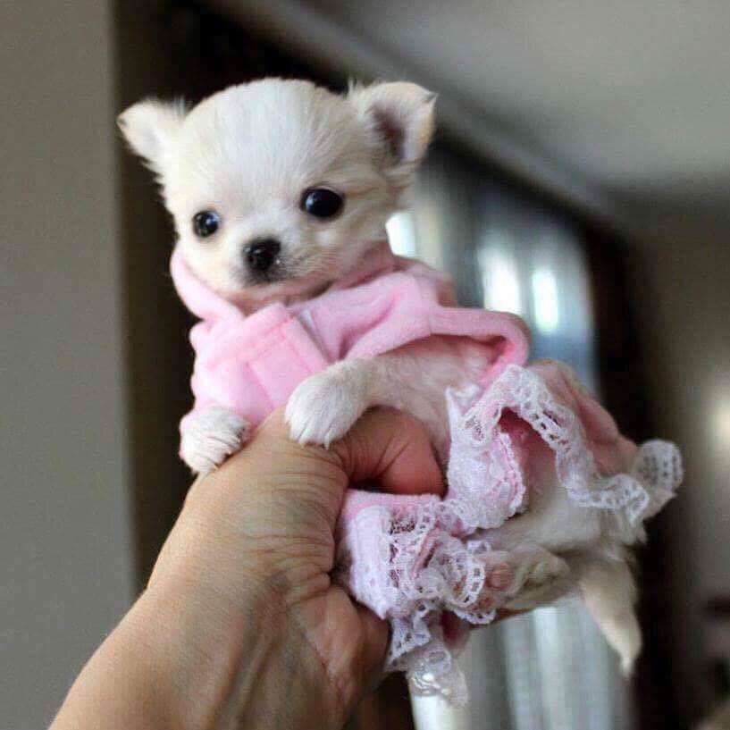 Tiny Pinky Chihuahua Chihuahua Whitechihuahua Teacups