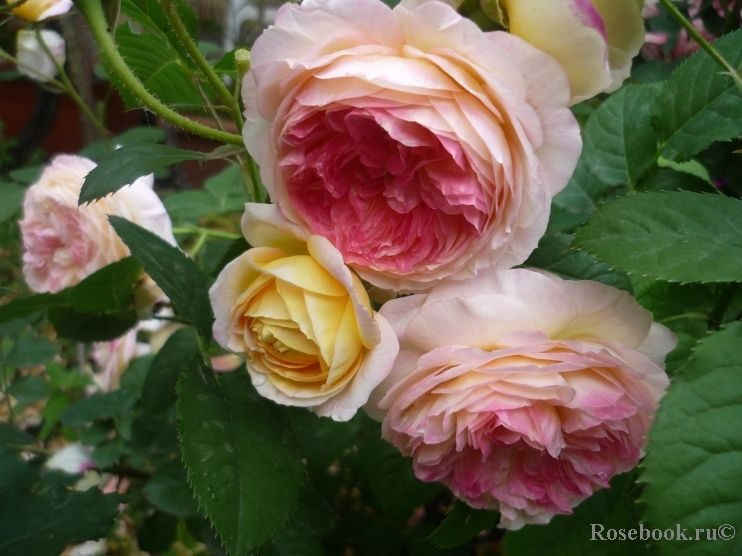 Rosomane Janon French Rose