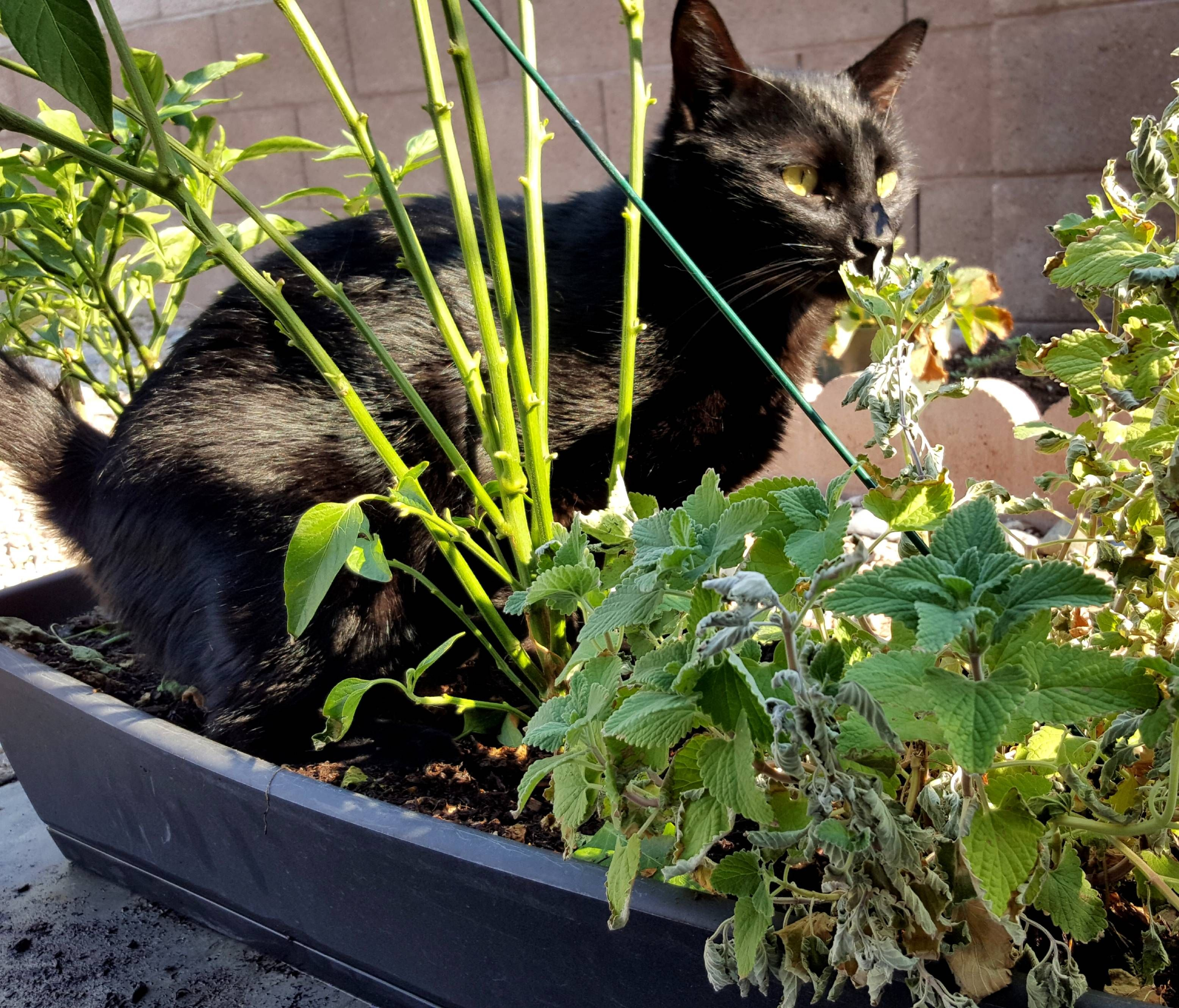 Lincoln Discovering The Catnip Plant