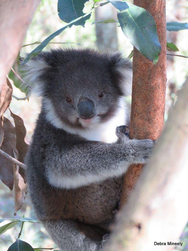 Koala | da damselfly58