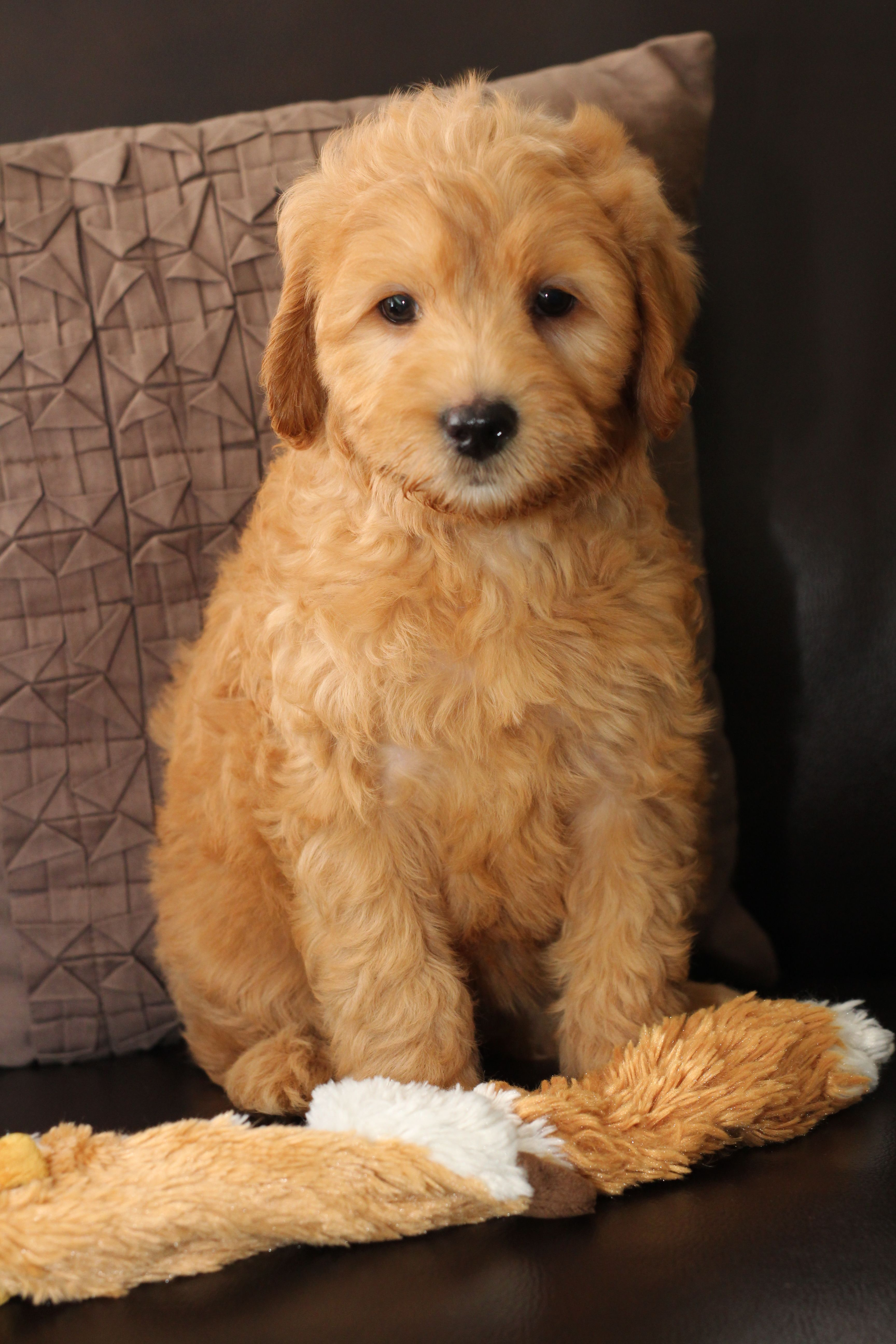 Mini Goldendoodle Puppy At 8 Weeks Old Blue Flowers Collar
