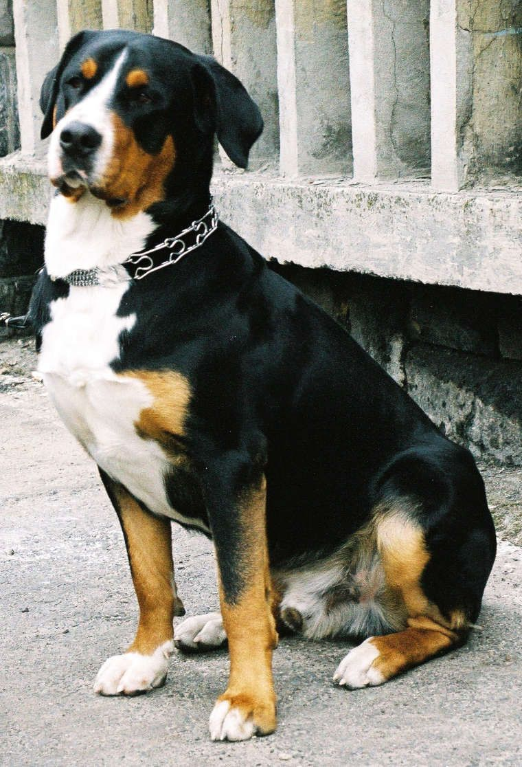 Greater Swiss Mountain Dog This Has Been My Dream Dog For The