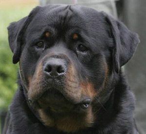 Hi There Handsome Rottweiler Dog Rottweiler