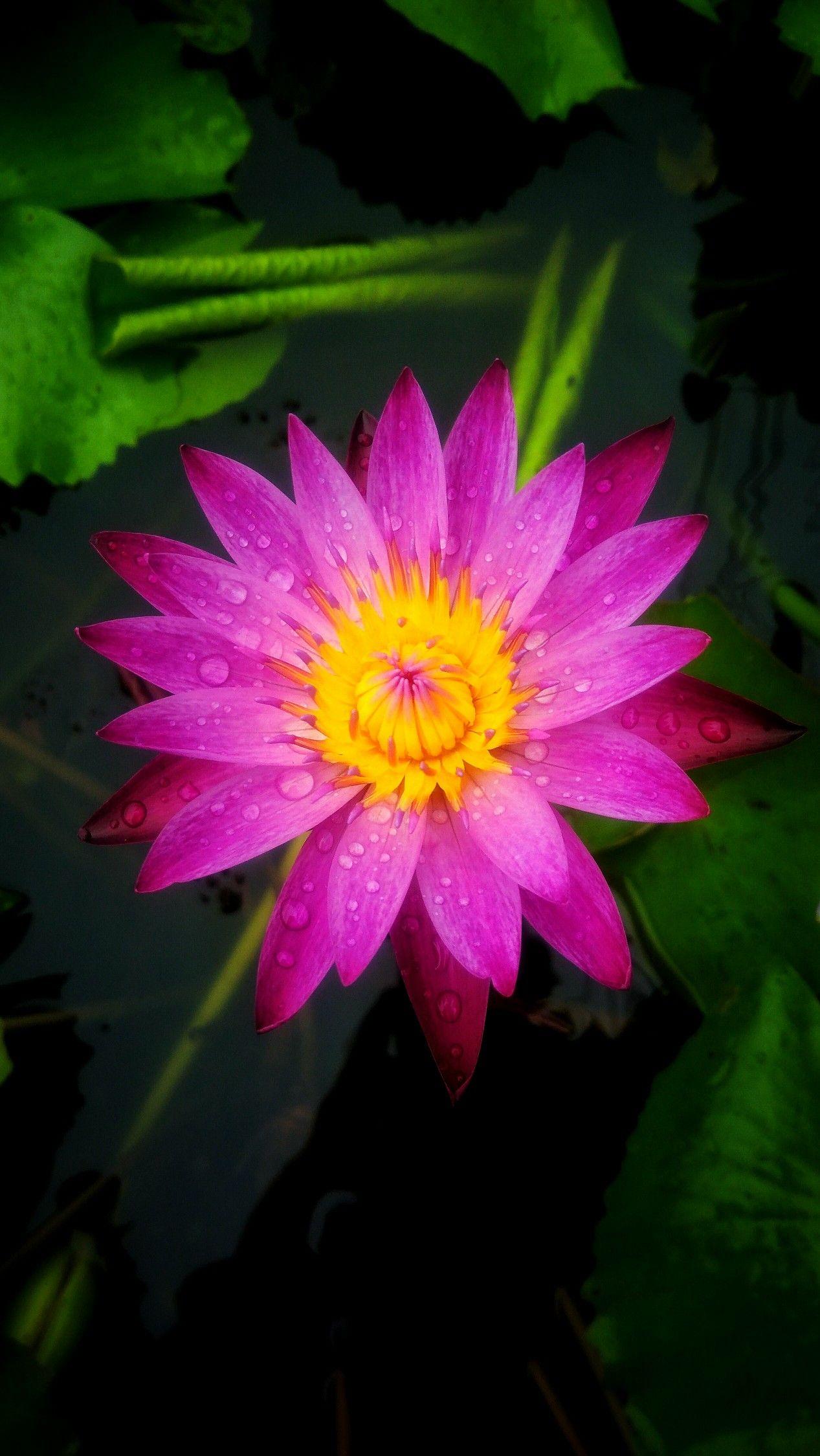 Beautiful pink lotus flower flowers pinterest flowers beautiful pink lotus flower izmirmasajfo