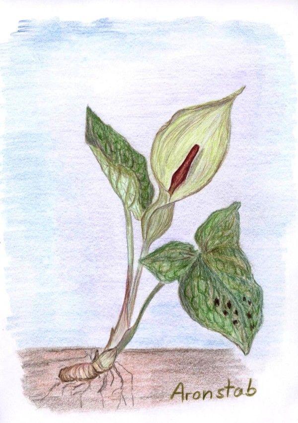 Waldorf ~ 5th grade ~ Botany ~ Peace Lily ~ main lesson book