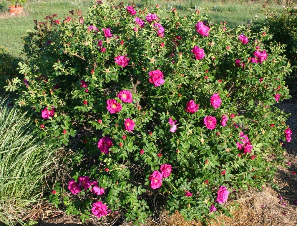 Purple Pavement | Purple shrubs, Bushes and shrubs, Shrub roses