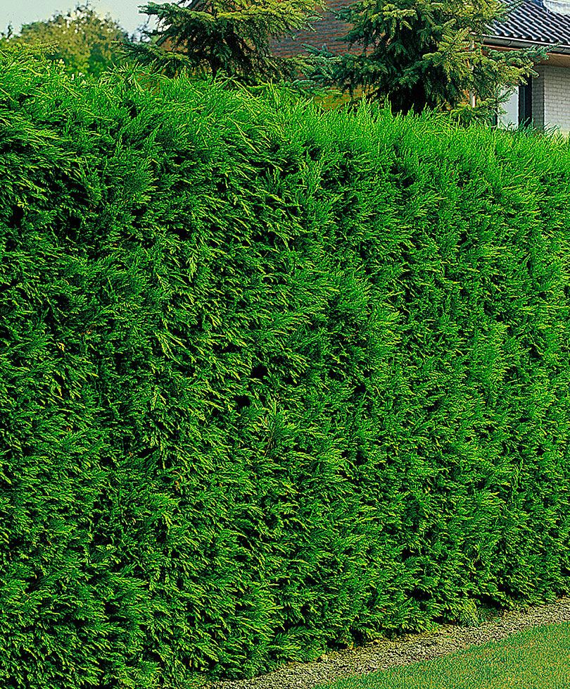 Leyland cypress leyland cypress is an extremely fast for Privacy greenery