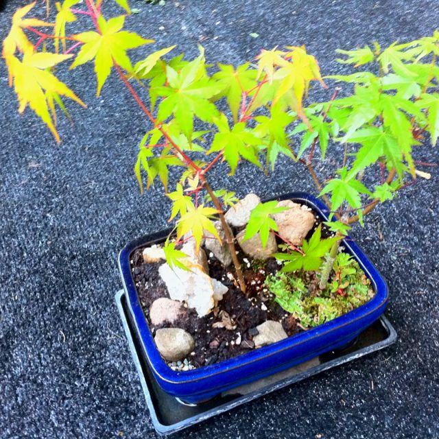 Japanese maple bonsai
