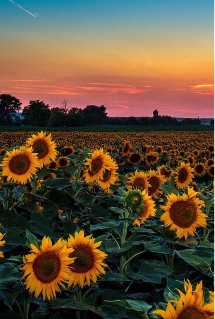 Sunflower Field Wallpaper Sky