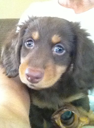 Mickey The Chocolate Long Hair Dachshund 8 Weeks Old Long