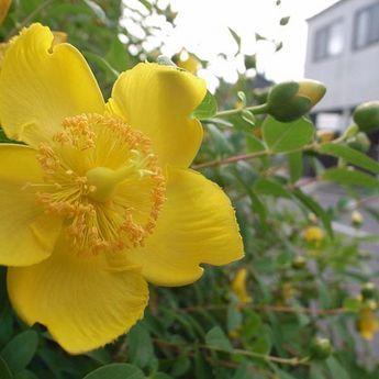 plante vivace ombre millepertuis grandes fleurs hypericum calycinum rose de sharon de. Black Bedroom Furniture Sets. Home Design Ideas