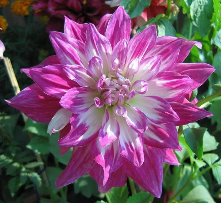 Pin by stefania angelique chimber mil on flori dahlia
