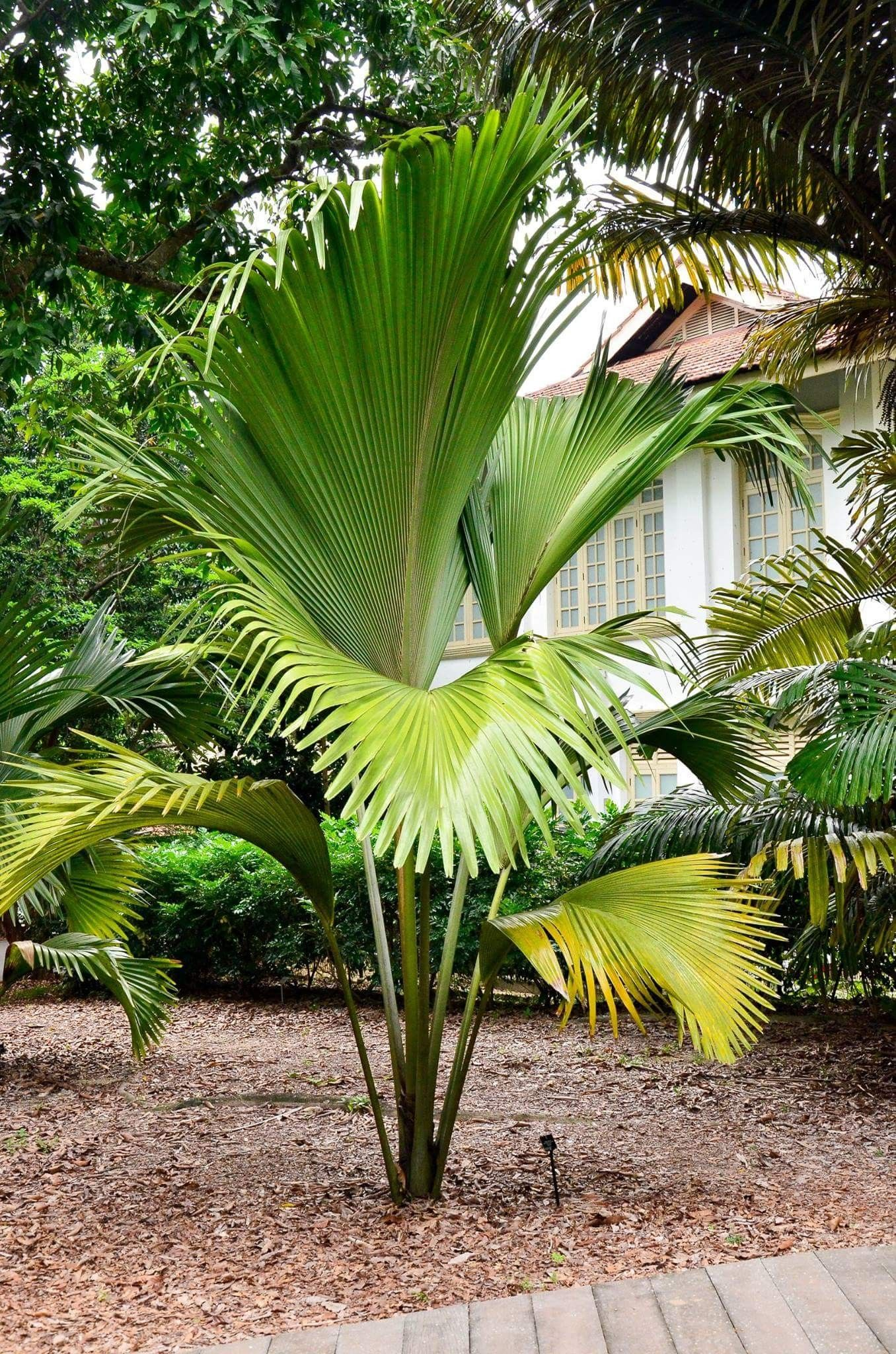 Lodoicea Palm Trees Landscaping Palm Tree Types Tropical Garden