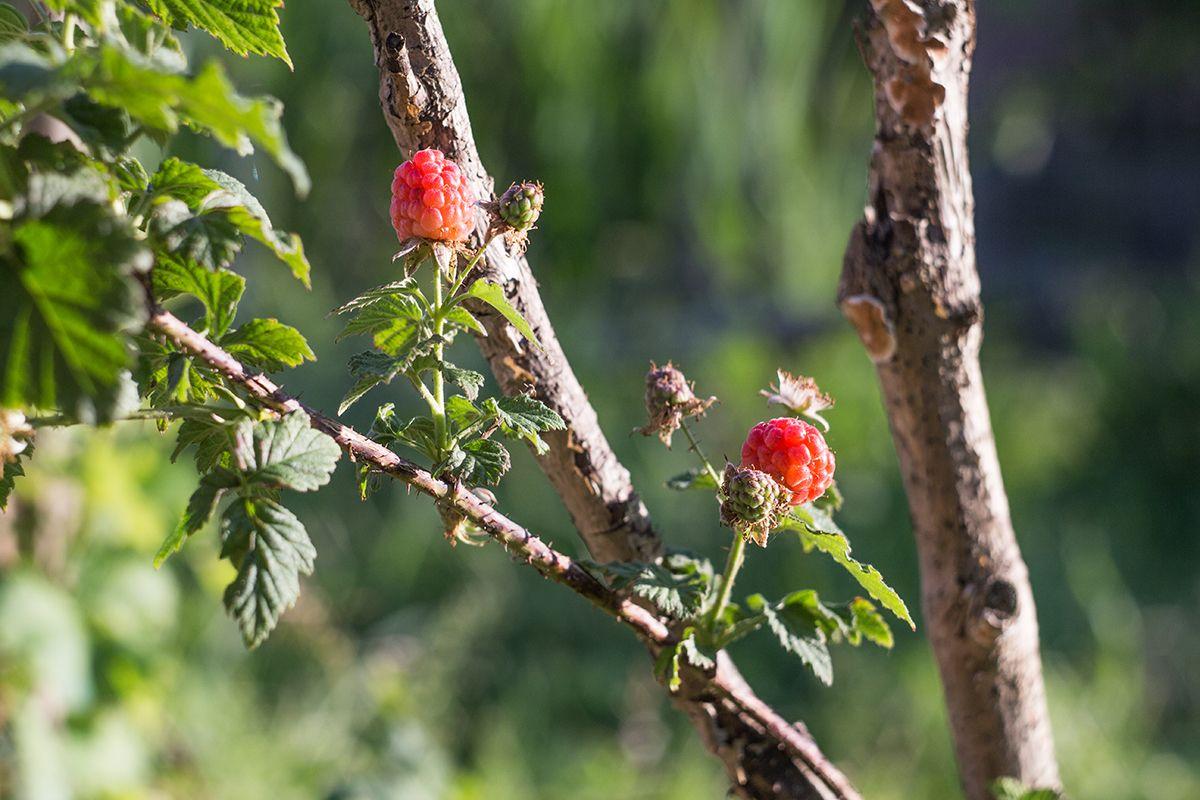 Lamponi - Raspberries  #lamponi#raspberries#rosso#red#bio#organic#frutta#fruit#fruttidibosco#wildberries#cibo#food#orto#vegetablegarden#foto#photo