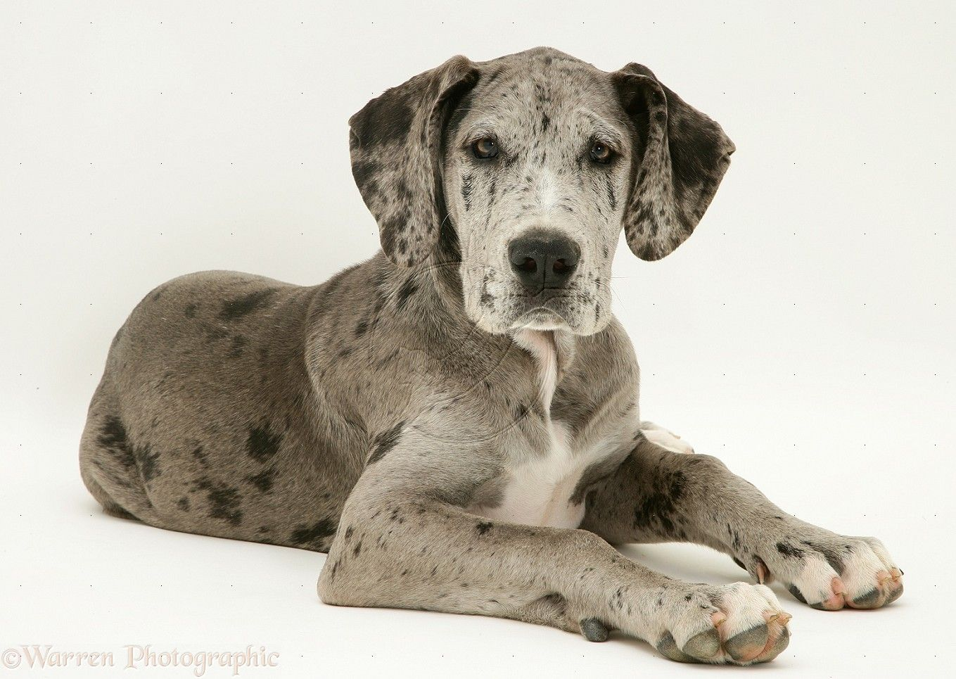 Harlequin Great Danes Google Search Great Dane Dogs Great
