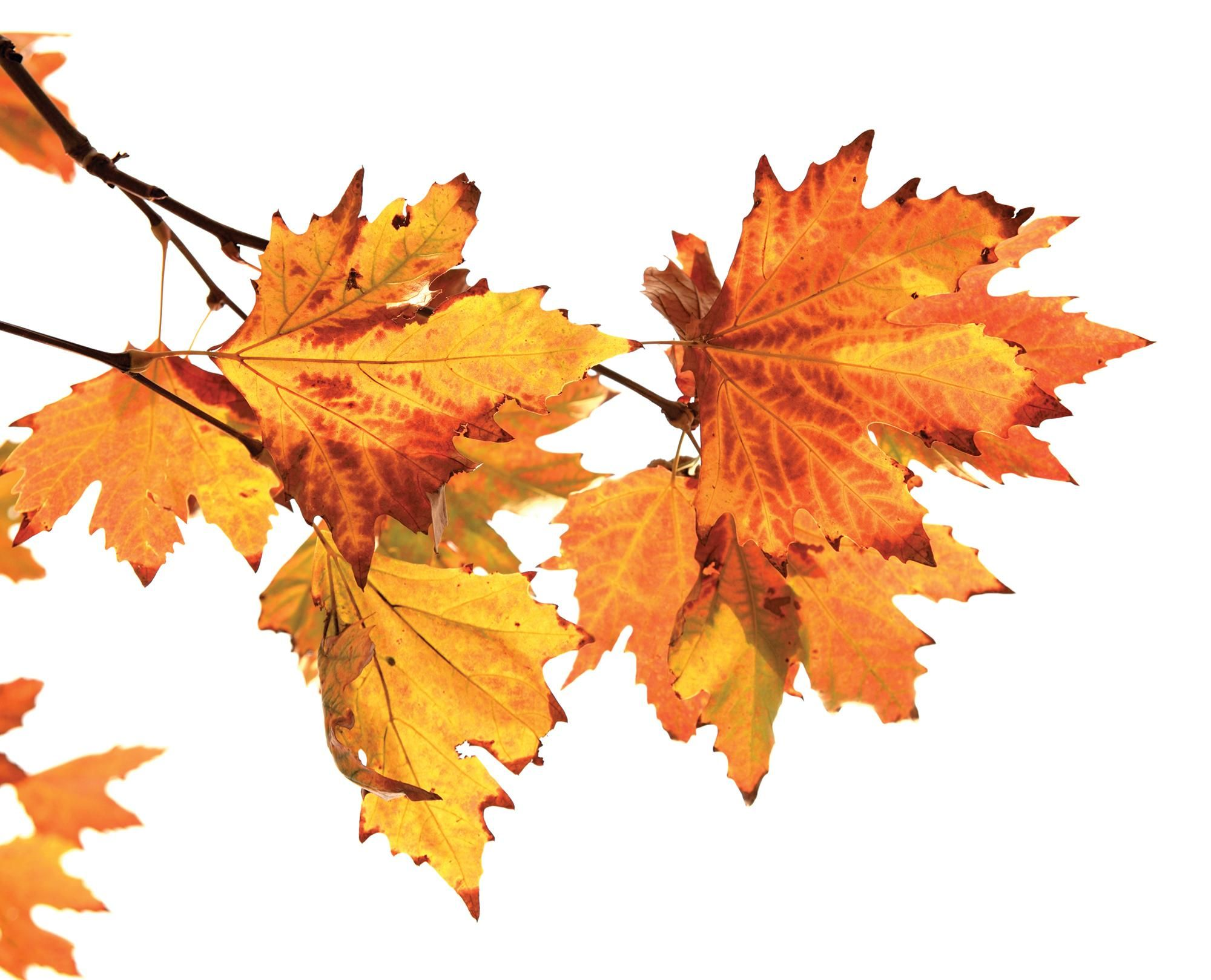 Leaves Are Loaded With Chlorophyll Which Makes Them