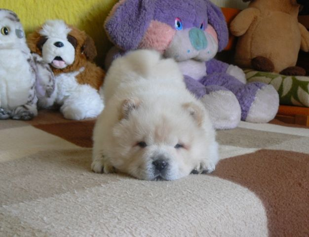 Want you to play with me? - asks this little white lion. In this photo is Broken Hill Gianni Morandi cream chow baby! I love him! :)