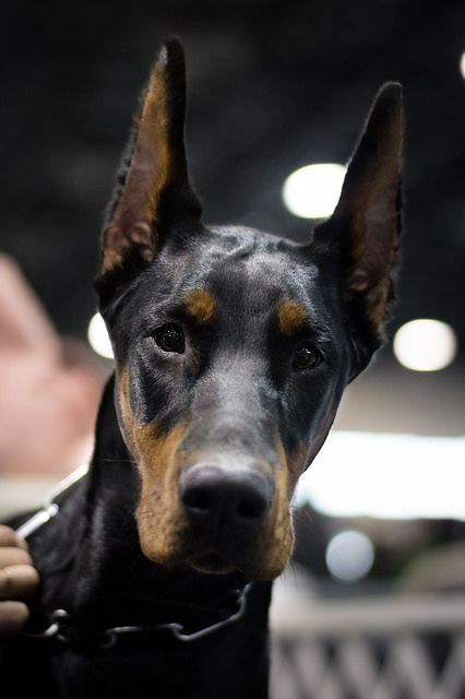 Is Your Dobermann Pinscher Driving You Crazy? Within Hours ... - photo#13