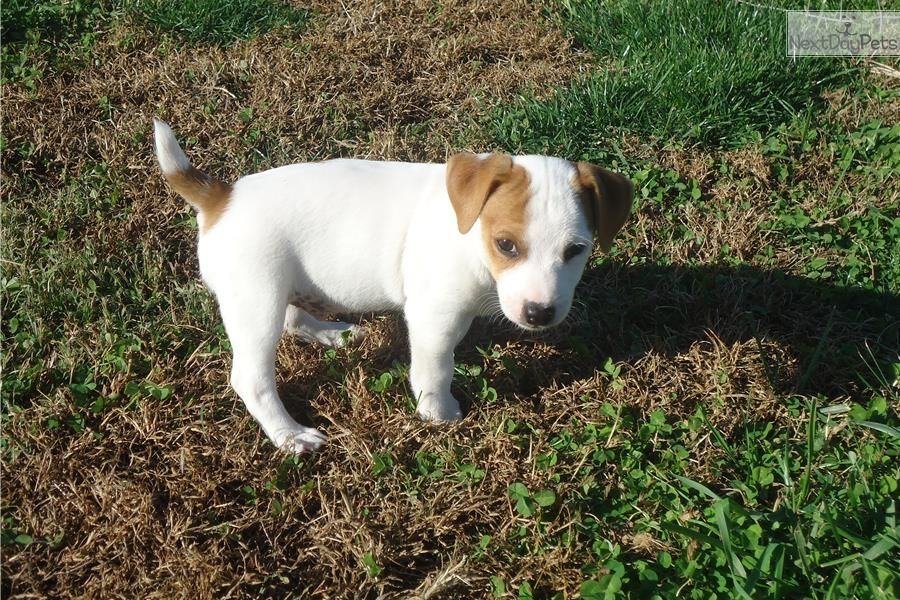 Shortie Jack Russell Puppies For Sale In Tn Jack Russell Terrier