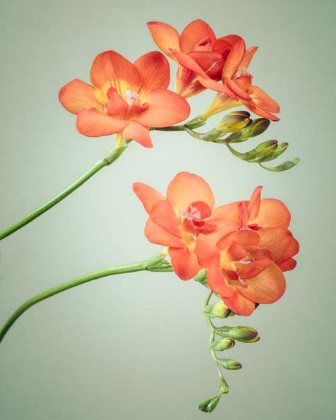 Freesia Flower Print Fine Art Print Freesia No 3 Freesia Flowers Floral Prints Art Flower Art