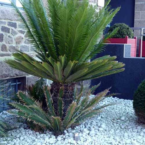 cycas du japon cycas revoluta palmiers pinterest plantes m diterran ennes plante. Black Bedroom Furniture Sets. Home Design Ideas