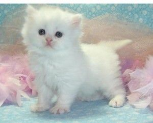Adorable Persian Kittens For Adoption 3 Months Old Kitten