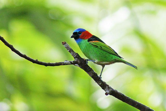 Foto saíra-militar (Tangara cyanocephala) por Ivan Angelo   Wiki Aves - A Enciclopédia das Aves do Brasil
