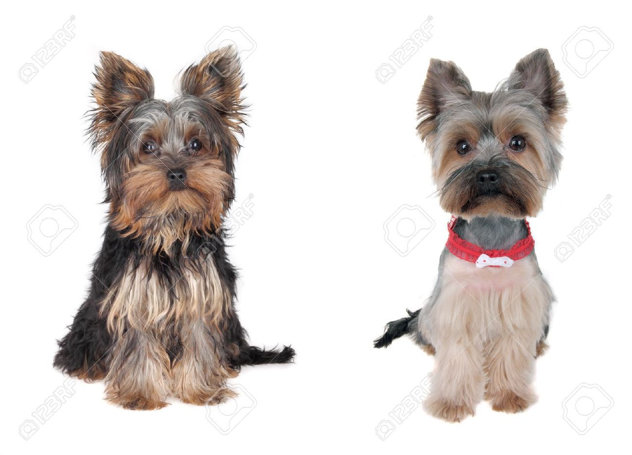 Grooming Dog Stock Photos Images, Royalty Free Grooming Dog Images ...