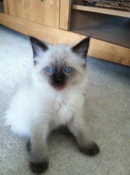 Adopt Roger On Petfinder Siamese Cats Siamese Ragamuffin Cat