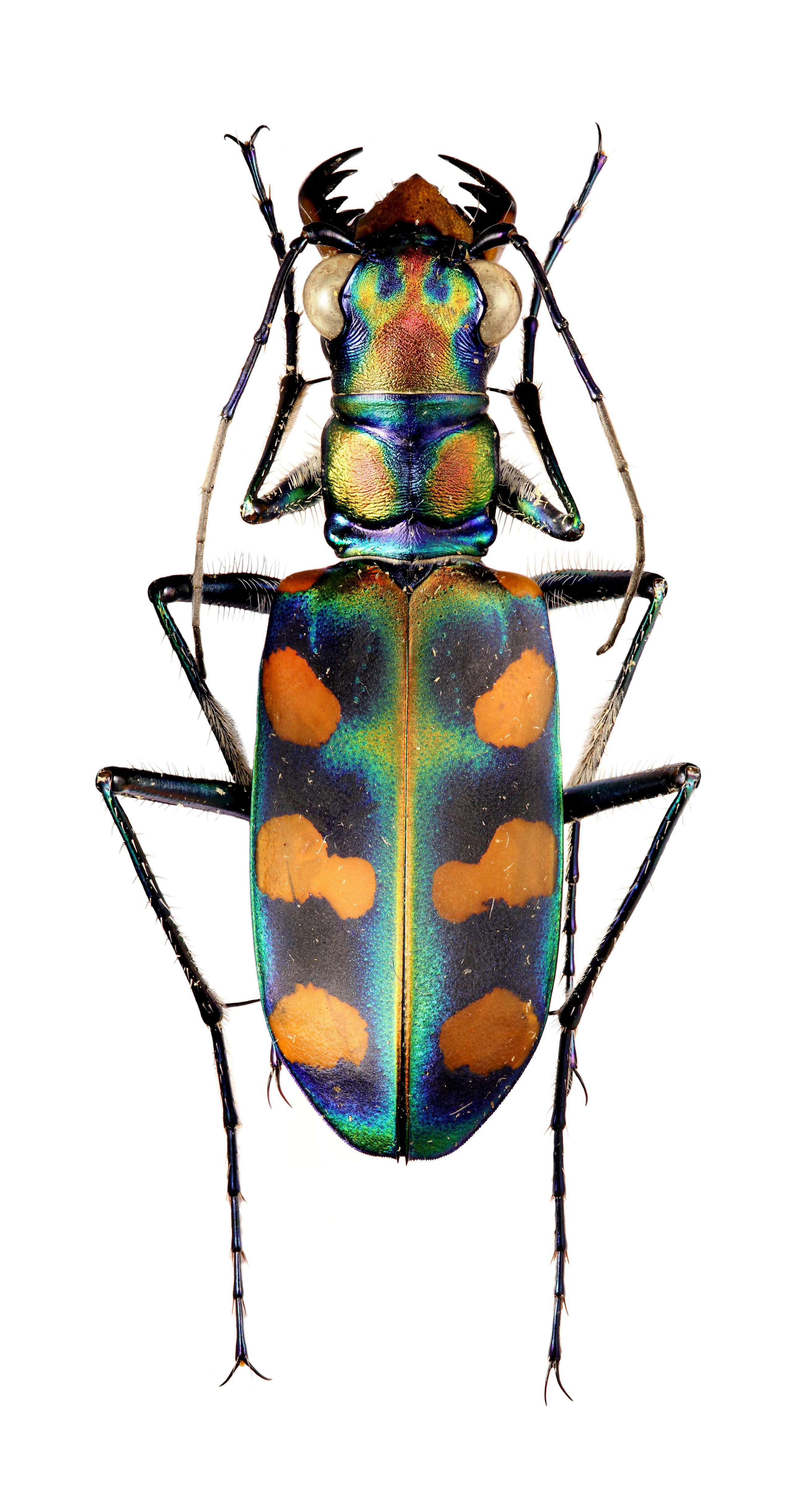Cicindela calochroa octonotata Beetle insect, Insects