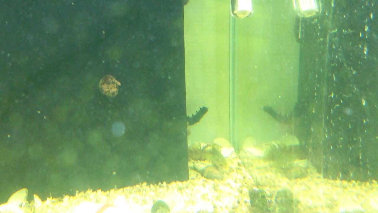 해삼 - Sea Cucumber.