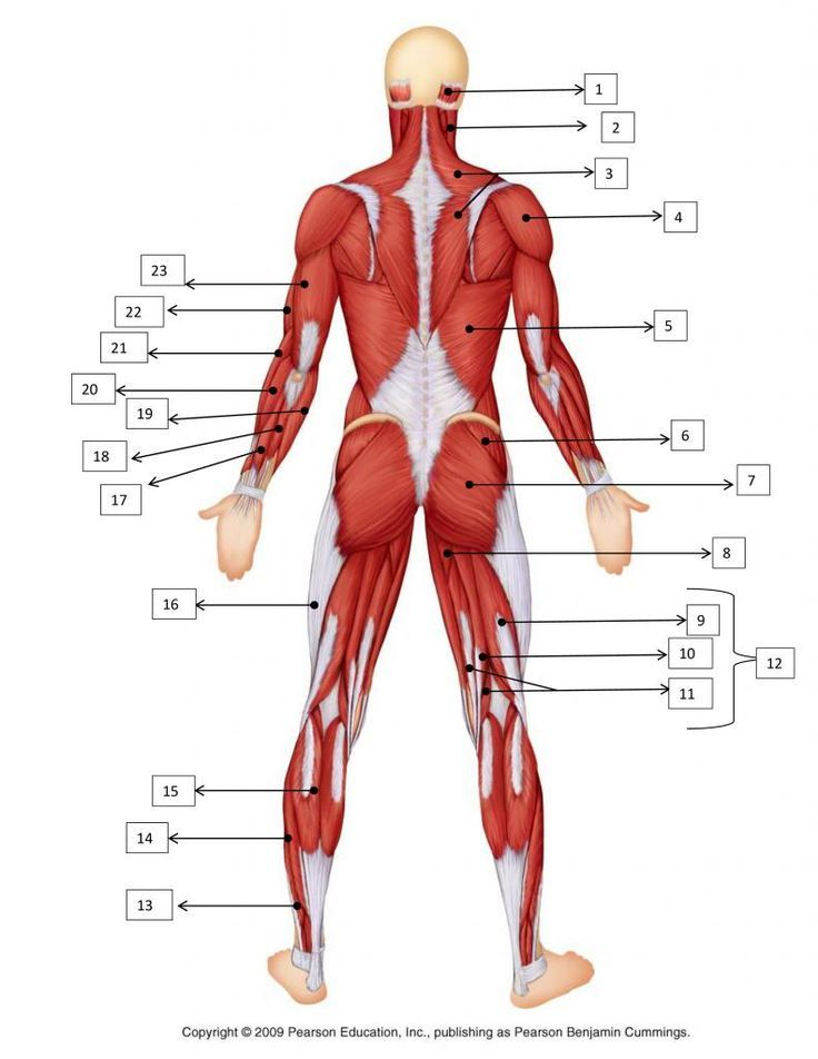 Muscle Anatomy Quiz Google Search Inspo Anatomy Reference