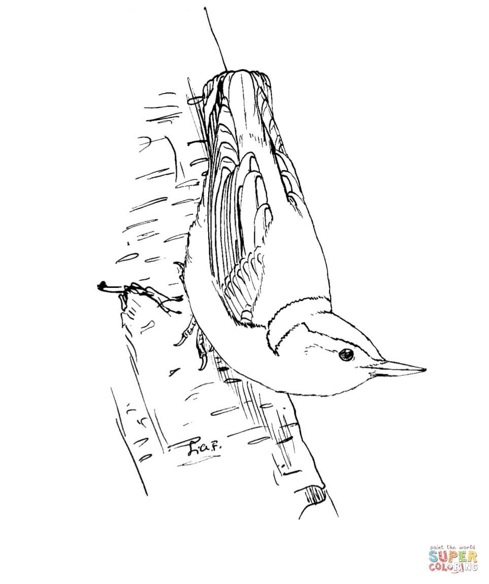 White Breasted Nuthatch Super Coloring Coloring Pages Bird