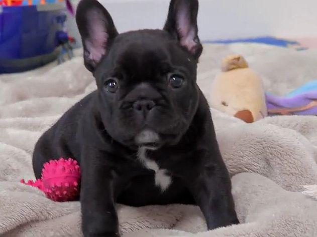 Franzosische Bulldogge Susses Kleines Videoportrait Franzosische Bulldogge Franzosische Bulldoggenbabys Franzosische Dogge