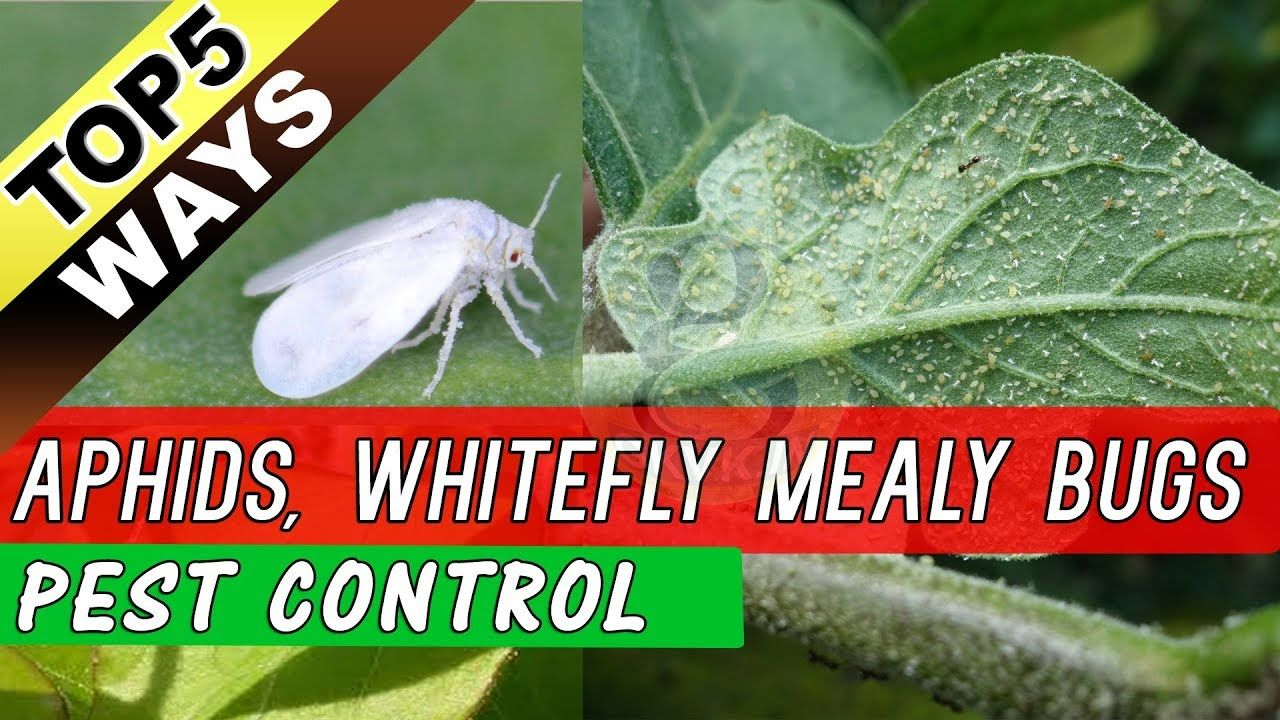 Top 5 Ways to Eliminate Aphids, Whiteflies Mealy Bugs