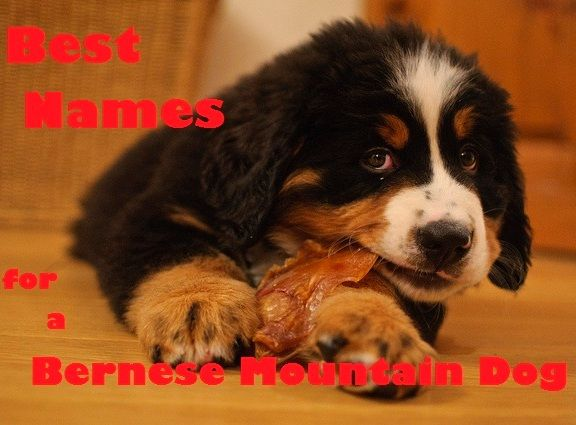 Best Swiss Names For A Bernese Mountain Dog Bernese Mountain Dog