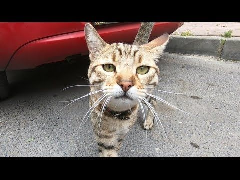Tabby cat meowing very loudly, because he is very hungry