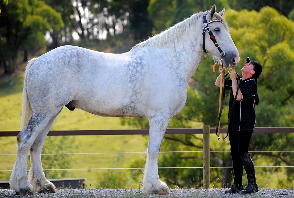 biggest horse in the world big things pinterest horses big rh pinterest com